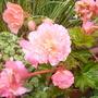 Begonia_aromantics_26.8.9