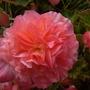 Begonia_aromantics_30.8.9