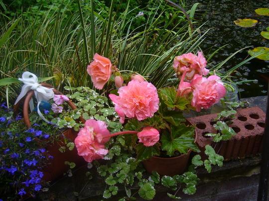 Begonia_aromantics_a_26.8.9.jpg (Begonia tuberhybrida)
