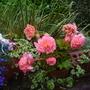 Begonia_aromantics_a_26.8.9