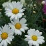 Argyranthemum (Argyranthemum frutescens)