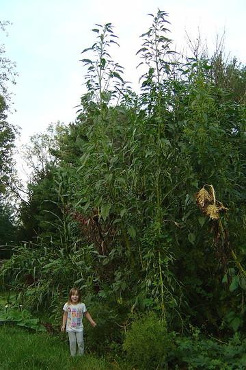 giant amaranth (Amaranthus australis)