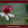 Pelargonium Renata Parsley (pelargonium)