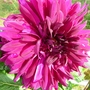 Red Dinner Plate Sized Dahlia
