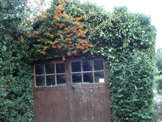 Pyracantha Orange Charmer (Pyracantha angustifolia (Fire Thorn))