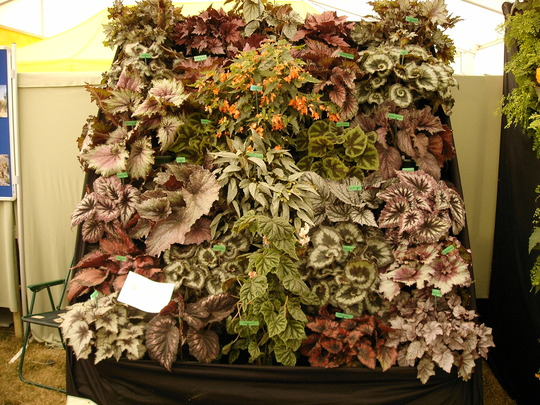 Shrewsbury Flower Show 2006 (Begonia)
