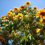 Spathodea campanulata 'aurea' - Golden/Yellow African Tulip Tree in San Diego  (Spathodea campanulata 'aurea' - Golden/Yellow African Tulip Tree in San Diego)