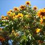 Spathodea campanulata 'aurea' - Golden/Yellow African Tulip Tree in San Diego  (Spathodea campanulata 'aurea' - Golden/Yellow African Tulip Tree in San Diego)