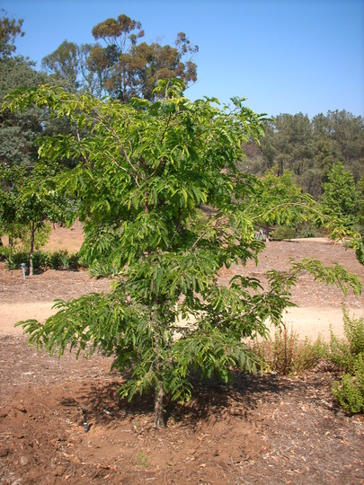 Tamarindus indica - Tamarind Tree in San Diego, CA (Tamarindus indica - Tamarind Tree)
