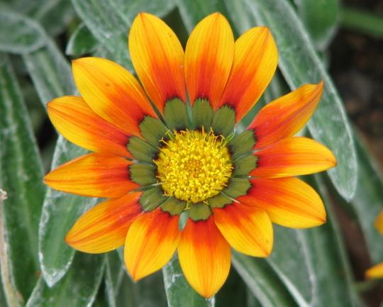 Another gazania flowering. (Gazania)