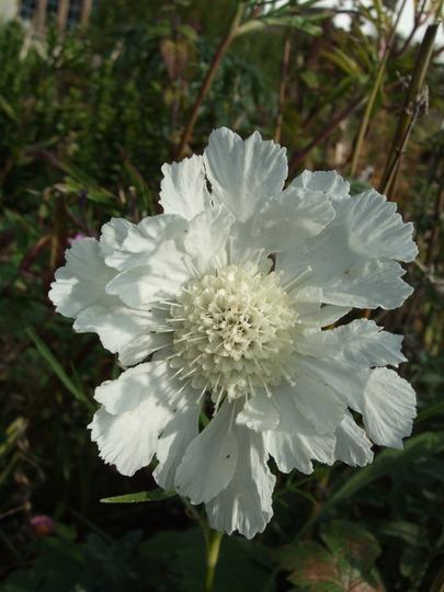 White Scabious (Scabiosa caucasica)