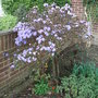 Rhododendron_blue_diamond_