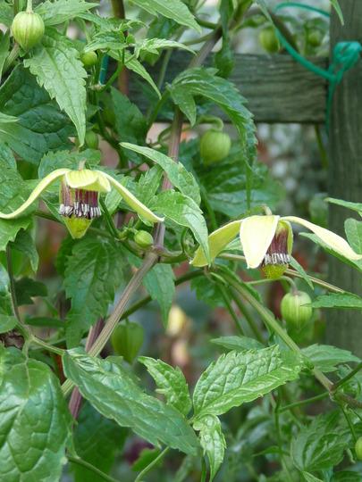 Clematis tangutica........Korean Beauty (Clematis tangutica (Clematis))