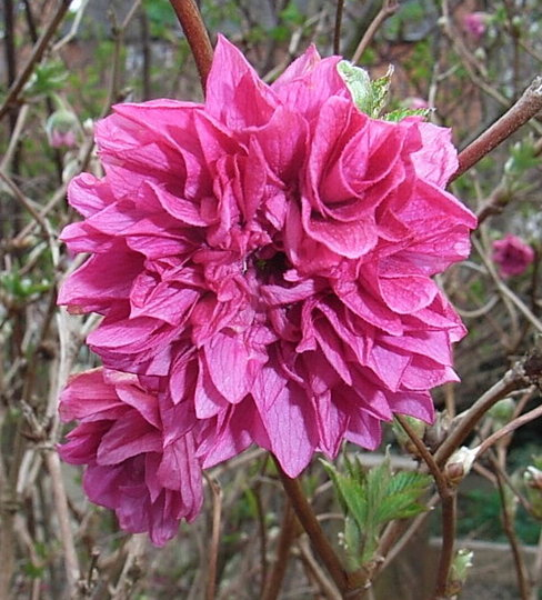 Rubus spectabilis 'Olympic Double' (Rubus spectabilis 'Olympic Double')