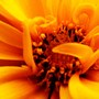 COREOPSIS - effect