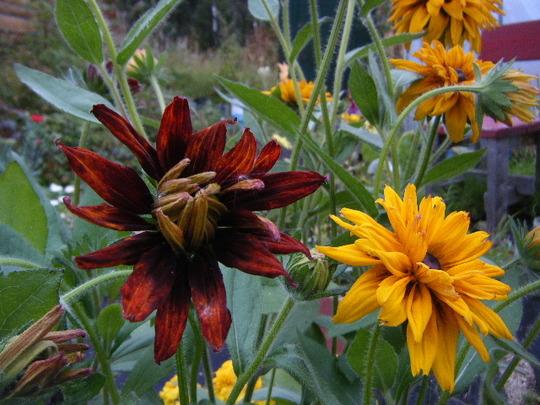 Cherokee Sunset 1 (Rudbeckia hirta (Black-eyed Susan))