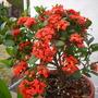 Ixora coccinea 'Maui Red' - Maui Red Ixora (Ixora coccinea 'Maui Red' - Maui Red Ixora)