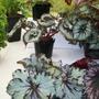 100_0416.jpg (Begonia rex (King begonia))