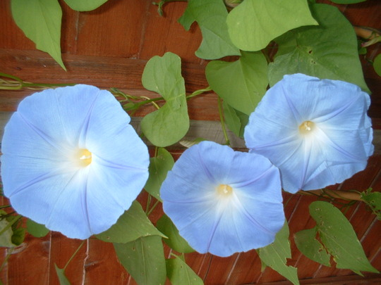 "Morning Glory ""Heavenly Blue"" (Convolvulus)"