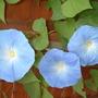 "Morning Glory ""Heavenly Blue"" (Convolvulus)"