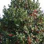 Holly_tree_small_