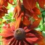 Rudbeckia alpicola