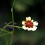 Turkish Delight (Coreopsis tripteris)