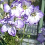 Larkspur_summer_skies_