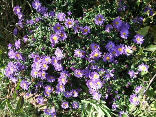 Asters in the sun. (Aster)