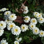 Feverfew_persicaria_red_dragon_