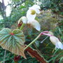 Begonia grandis subsp evansiana var alba - 2009 (Begonia grandis)