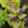 Lamium Cannon Gold (Lamium maculatum Cannon Gold)
