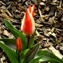 Striped tulip (Tulipa greigii)