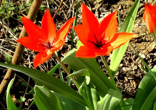 Tulipa botanica Praestans (Tulipa botanica Praestans)