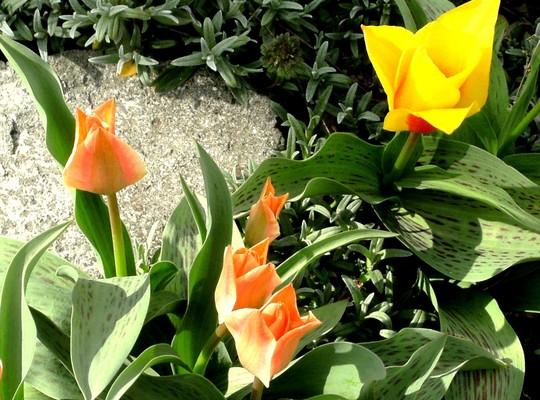 Tulipa greigii mixed. (Tulipa greigii)