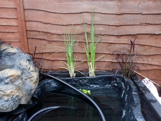 Adding ornamental grasses (Pennisetum setaceum (African Fountain Grass))
