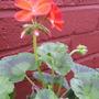 Pelargoniumbubblegum