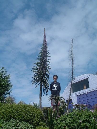 echium and jack (Echium pininana (Tree echium))