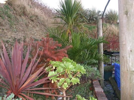 A garden flower photo (Aeonium arboreum)