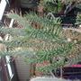 spikey (opuntia celindrica)