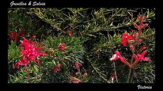 Grevillea juniperina & Salvia