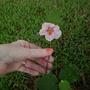 flowering maple (abutilon hybridum)