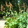 Plume Poppy (Macleaya, cordata)