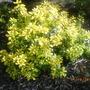A garden flower photo (Escallonia laevis)
