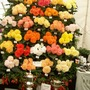10000.jpg (double tuberous Begonia)