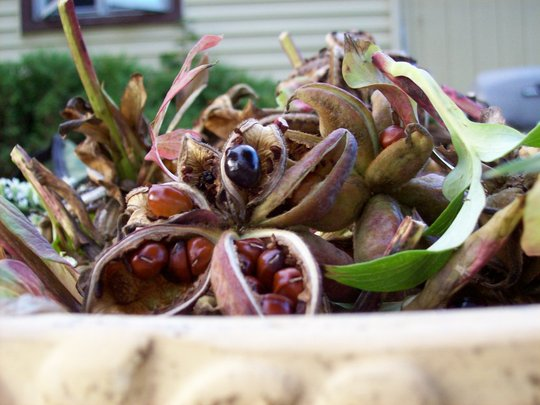 Seeds from my Tree Peony Plants