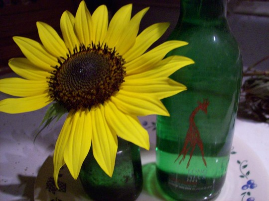 sunflower (Helianthus annuus (Sunflower))