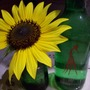 sunflower (Helianthus annuus (Sunflower))