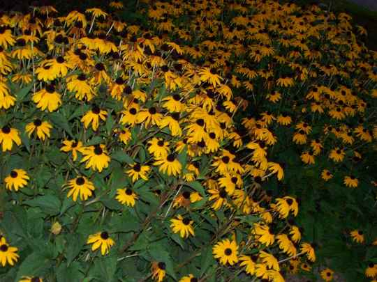 BlackEyed Susans (Blackeyed Susan)
