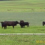 Black Angus Cows